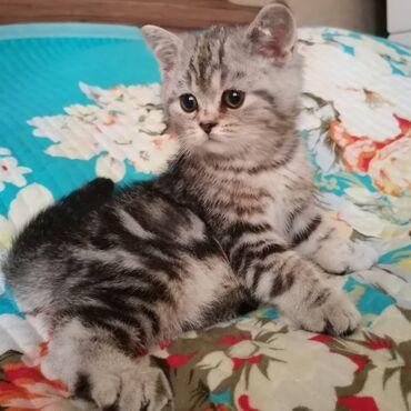 Продаётся чистокровный котёнок тенок порода скотиш страйт сербристо