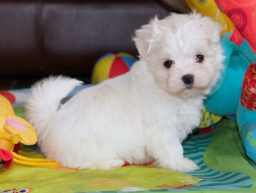 Maltese puppies for sale WhatsApp me Maltese puppies for sale with all