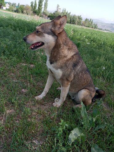 Собака порода лайка сучка 2 года. Рыжапепельный цвет