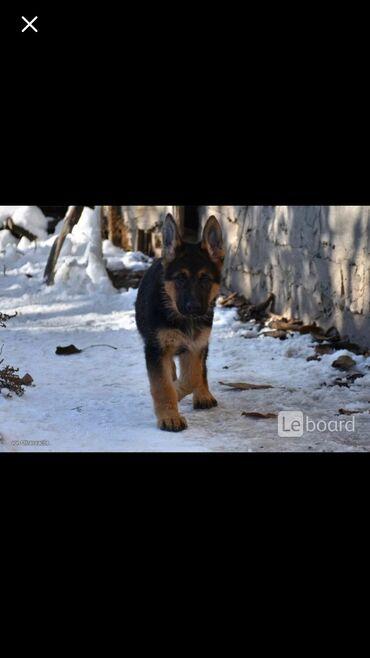 Собаки - Базар-Коргон: Куплю щенка немецкую овчарку чистокровку!!!!срочно!!! Кабель!!!!