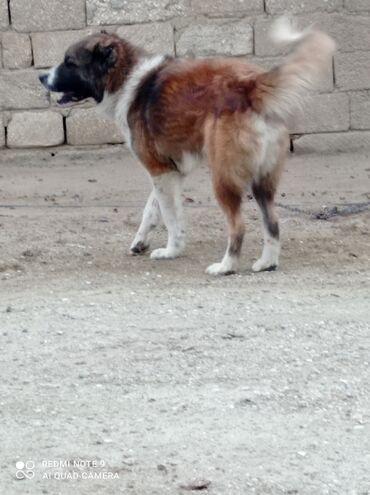 Животные - Дюбенди: Собаки