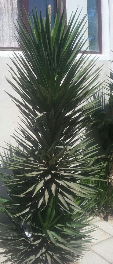Otaq bitkiləri Sumqayıtda: Balacalarin bir denesi10 manat yekeleri 20 manat