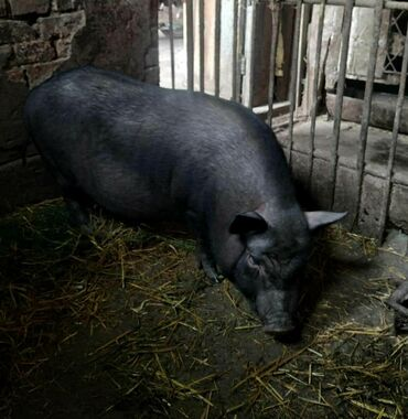 купить-быка-на-мясо в Кыргызстан: Вьетнамские поросята. Свинья. Поросятам 3 месяцаНа продажу:2 девочки