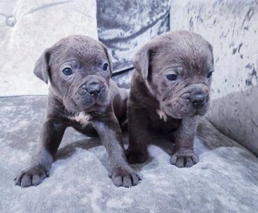 Cane Corso Pupspuppies Ready to go to their forever homes. These