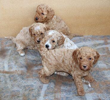 Cavapoo για υιοθεσία μικροτσίπ, ελεγμένο κτηνίατρο, όλα εμβολιασμένα