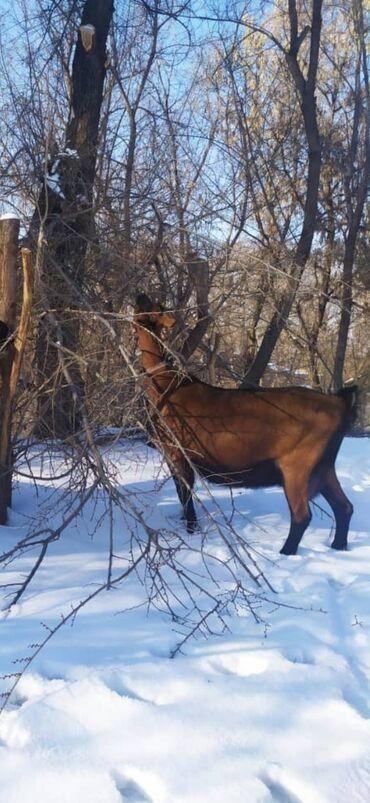 Куплю козу дойную - Кыргызстан: Всем здравствуйте!!! Продаю вкусное козье молоко породистых коз!!!