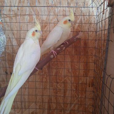 Продаются птенцы кареллы из выводка
