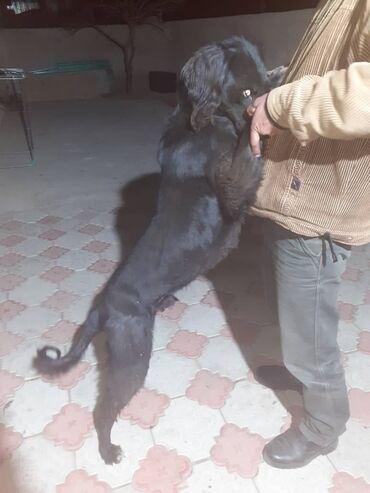 Животные - Бостери: Кыргыз тайган 2.5жаш рабочий гарантиясы менен