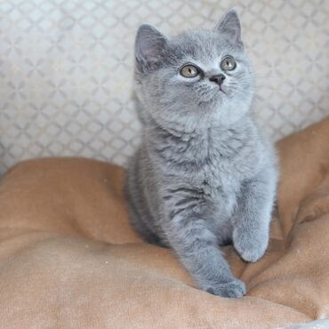 British short hair kittens available for rehoming both genders, all