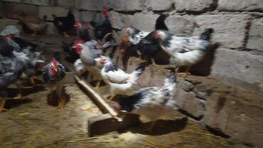 yaponka toyuqlari - Azərbaycan: Kent toyuqları yumurta.eliyen toyuqlar10 xoruzlar 15