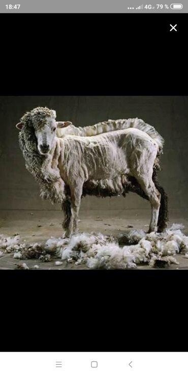 Услуги ветеринара - Кыргызстан: Стрижка овец на выезд! Всех вид баранов стригу!