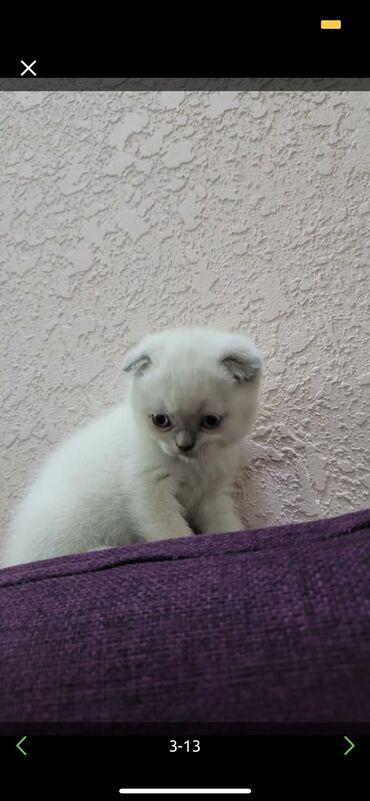 термобудка бишкек in Кыргызстан | САНТЕХНИКИ: Котёнку 2 месяца приучен к лотку очень игривый и веселый британец поро