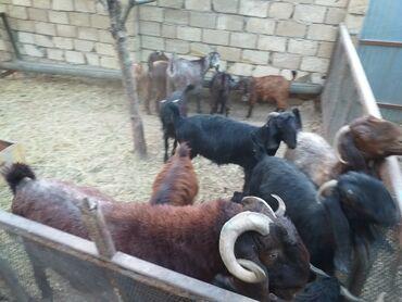 6 elan | HEYVANLAR: Keçilər