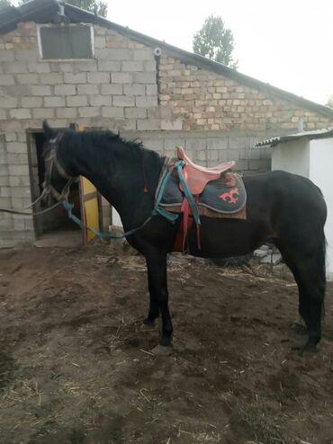 104 объявлений   ЖИВОТНЫЕ: Продаю   Кобыла (самка)   Английская   Для разведения, Конный спорт   Племенные