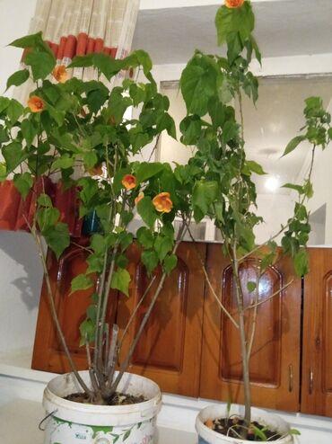 Комнатные растения - Кыргызстан: Үйдө өстүрүлгөн гүлдөр сатылат, келишим баада вотсаптан жазыңыздар