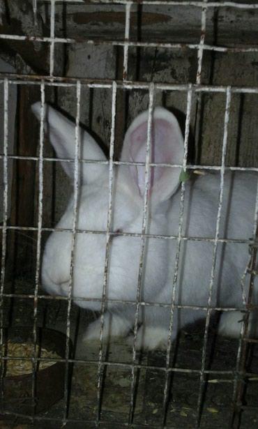 Продам кроликов;.Взрослый в Сокулук