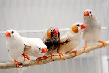 forma dlja ledencov na palochke в Кыргызстан: Внимание!! Акция!! Две птички +клетка+поилка+корм 0,5 кг! Всего за 1