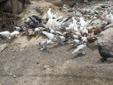 2357 объявлений: Птицы