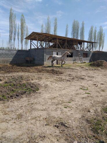 Животные - Узген: Породасы Польша бою 1.70 жашы 5 асый улагы уйуру гарантия. Ат жоош
