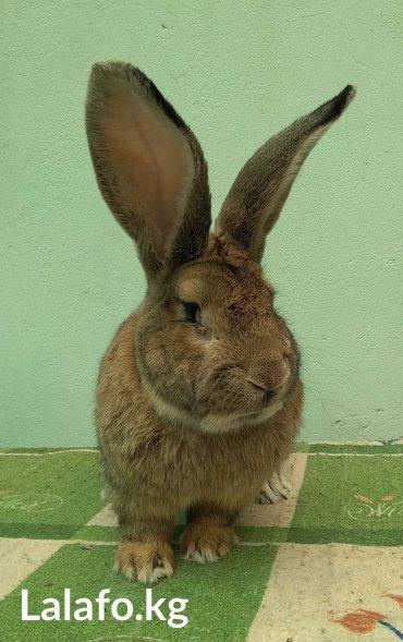 Продам, Молодых кролов и крольчат породы Фландер. Возраст 0т 2 мес. Ст в Бишкек