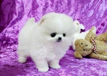Pomeranian κουτάβια διαθέσιμα δωρεάνΔιαθέτουμε δύο όμορφα κουτάβια AKC