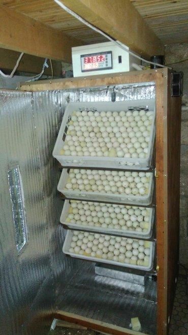 Xırdalan şəhərində Tam avtomatik inkubatorların sifarişi qəbul olunur. inkubatorlar