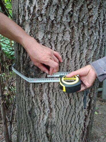 Продаю деревья грецкого ореха 5 штук. Самовывоз и самораспиил. В
