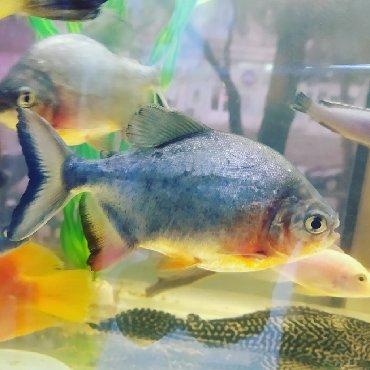 balig - Azərbaycan: Pirana baligi satılır.KARDİNAL akvarium merkezi. (Rəsmi dükan).Ünvan