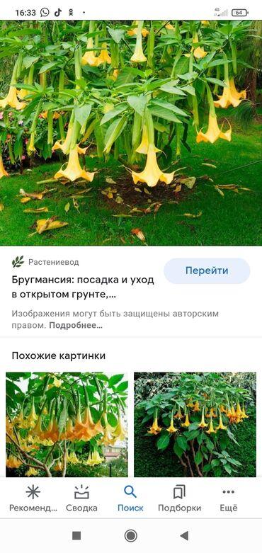2 объявлений: Продаю дерево бругмансия. Оранжевый колокол