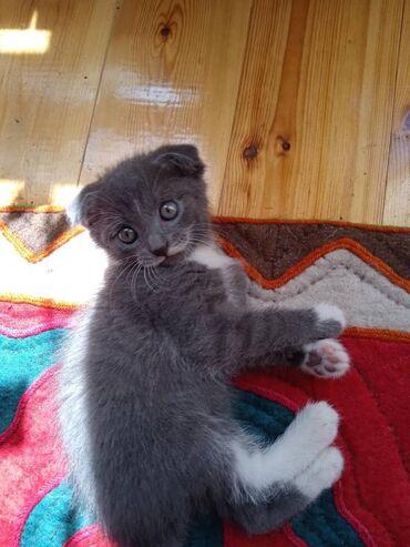 умут и ко вакансии in Кыргызстан | ПРОДАЖА ДОМОВ: Продаётся котенок(самка)породы шотландская вислоухая(skotish