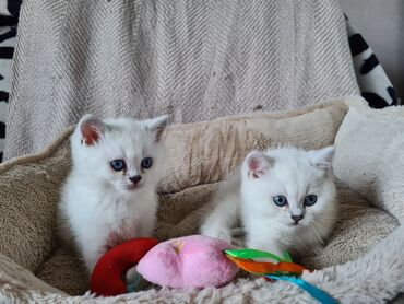 British Blue Shorthair Kitten Ready Now we have male and female