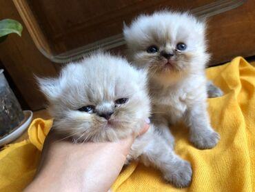Гималайские персы мальчики. Глаза будут голубые. Родились 23 августа