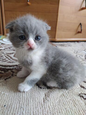 Котенок шотландский вислоухийМилая девочка скотиш фолд ждёт любящих и