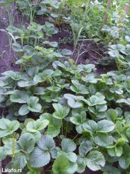 Vise vrsta kvalitetnih sadnica jagoda- cena po sadnici 40 din - Bor