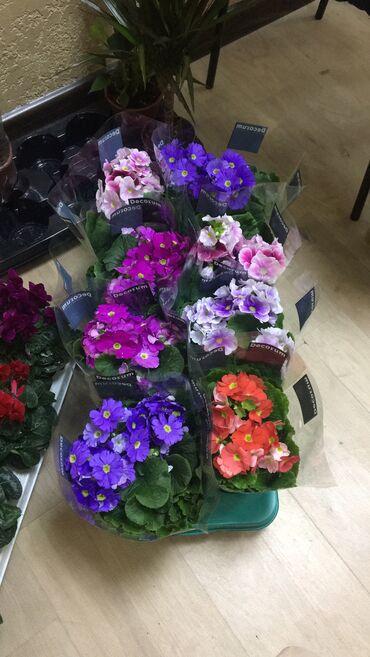 садовые растения в Кыргызстан: Оптом цветы Цикломен Примула Азалия и Орхидея и Женское счастье