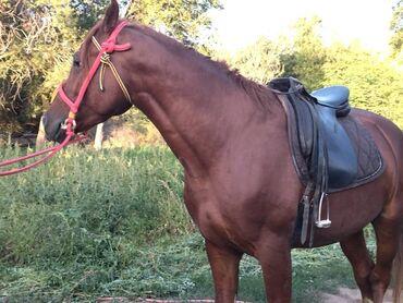 10920 объявлений: Продаю   Конь (самец), Жеребец   Для разведения   Племенные