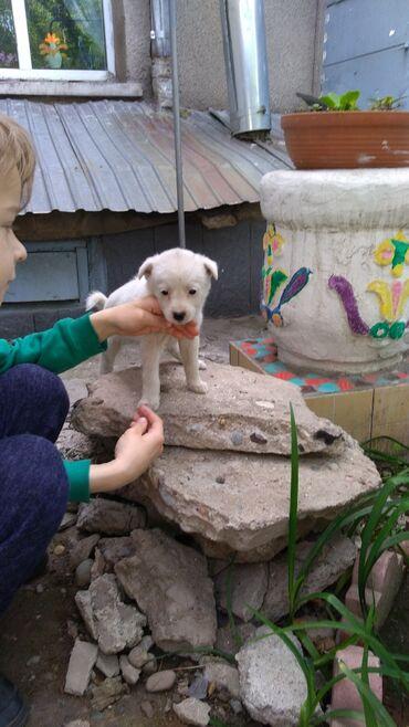 Собаки - Кыргызстан: В добрый дом отдам девочку маленькой породы. 1,5месяца.Хороший звонок