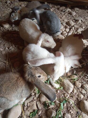 42 объявлений | ЖИВОТНЫЕ: Продаю | Крольчиха (самка) | Для разведения | Племенные