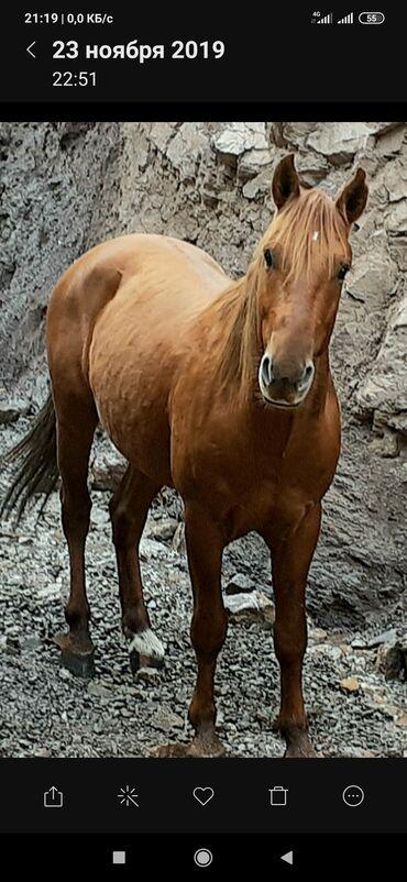 Животные - Кара-куль: Продаю | Конь (самец) | Полукровка | Для разведения, Конный спорт | Племенные