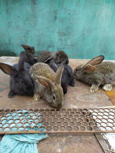 Продаю крольчат породы шиншилла и великан,возраст 2-3 мес
