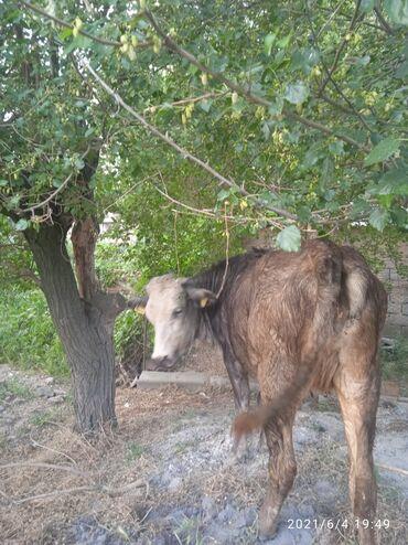 Животные - Луговое: Продаю двух породистых племенных телок латвийская голубая,, джерси