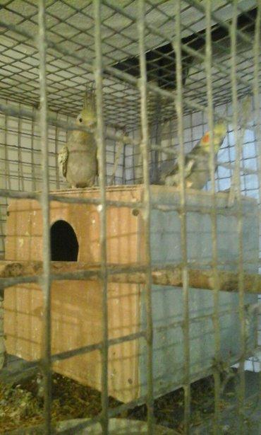 попугай карелла парочка вместе с домиком  в Бишкек