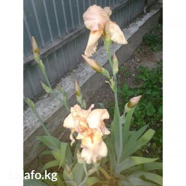 Продаю ирисы желтые, фиолетовые, белые по 50 с и садовые цветы