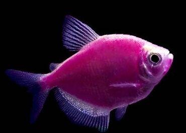 tolstolob baligi - Azərbaycan: Terneciya akvarium balığı iri ölçüdə