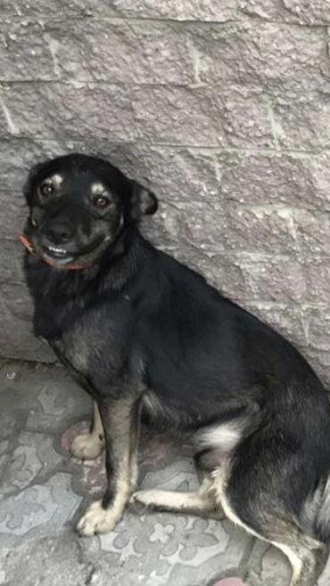 дома в Кыргызстан: Собака Мальчик ищет дом  Кобель 2 года Отлично охраняет свою территори