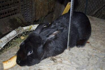 Кроликив продаже имеются молодые кролята.мясо весом до 4 кг.по всем