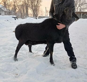 Флипчарты 66 х 96 см лаковые - Кыргызстан: Продается кочкор 11-12 месяцев!!! Высокий, длинный, хорошая шерсть