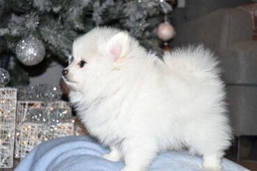 Τώρα είναι ένας χαριτωμένος άνδρας και γυναίκα Pomeranian. Τα κουτάβια