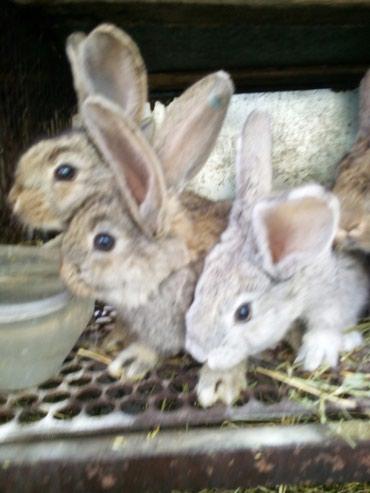 продам-крольчат в Кыргызстан: Продаю полтора месячных крольчат породы великан, привитых(крол из Росс