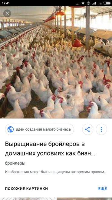 разведение бройлеров как бизнес. группа watssapp +996550285746. если х в Бишкек